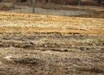 killdeer scouting for nest site?