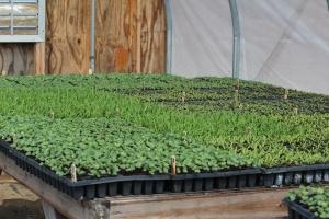 Seedlings kohlrabi, spinach, beets
