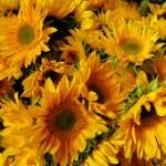 sunflowers-300
