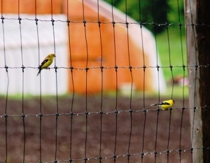 3783s_American Goldfinch