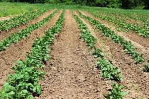 3942s_hilled potatoes Iowa3