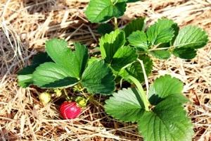 4390s_Strawberries