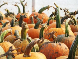 New England Pie Pumpkins