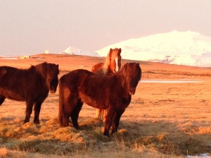 Icelandic horses posing in front of Snæfellsjökull