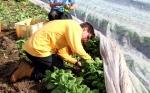 Tim & Henry harvest baby bok choy