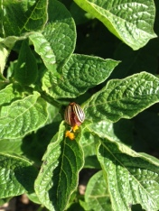 potato beetle laying eggs