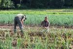 Three days of garlic harvest begin Monday, Jul 21