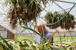 After delivery to the greenhouse, garlic is bunched, tied, and hung by John and Laurie