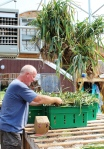 John and Laurie bunch, tie, and hang garlic in the greenhouse to cure