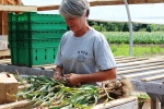 John and Laurie bunch, tie, and hang garlic in greenhouse to cure