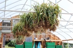 1st bed of garlic hangs in the greenhouse; 2 more beds to go