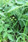 PYO Cherry toms also stubbornly green, also abundant