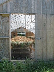 onions curing in greenhouse, 2011