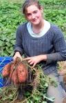 Hadley_Harvesting Sweet Potato