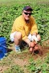 Eddie_Harvesting Sweet Potato
