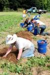 Gretta and Crew_Harvesting Sweet Potato
