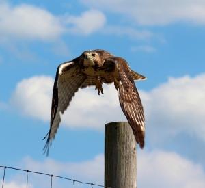 Moraine hawk